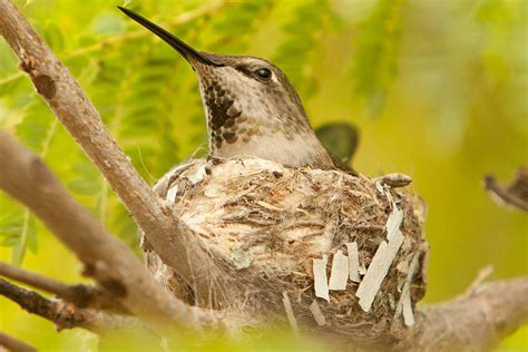 how to attract nesting hummingbirds