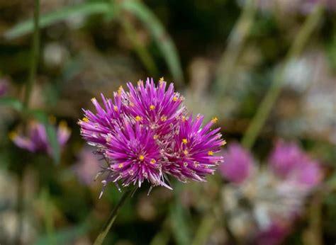 types  gomphrena flowers