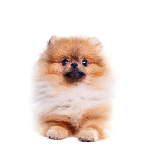 teacup pomeranian 25 best ideas about teacup pomeranian puppy on