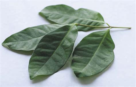 Khasiat Dasyat Dan Salam 15 manfaat dan khasiat daun salam untuk kesehatan khasiat