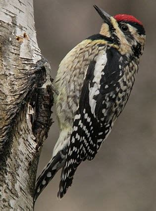 yellow bellied sapsucker, identification, all about birds