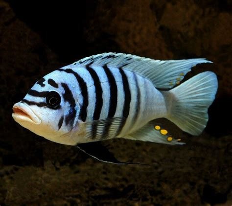 most colorful cichlids best 25 cichlids ideas on