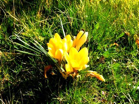 La Tulipe Gliter 1 Gr la flore