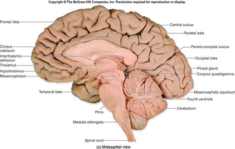section of the brain 13 facts about the human brain you didn t know