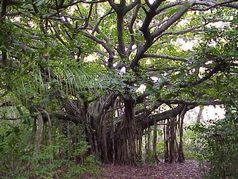 Liontin Salib Bentuk Pohon 5 all about horor on quot pohon beringin konon tempat kesukaan genderuwo terutama beringin