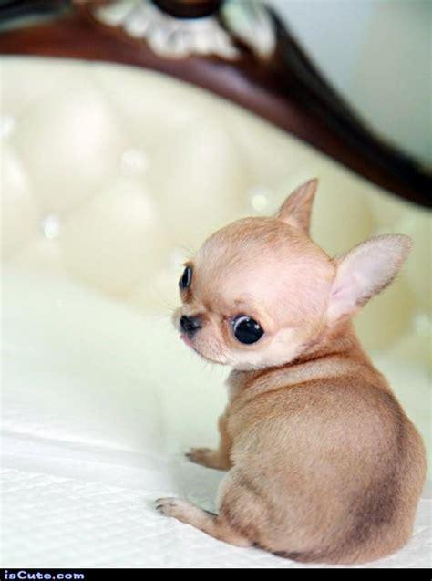 baby chihuahua puppies baby chihuahua iscute