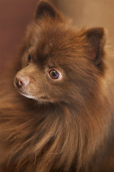 chocolate and pomeranian chocolate pomeranian puppy hairstylegalleries