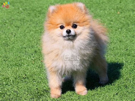 boo the pomeranian teacup pomeranian boo breeds picture