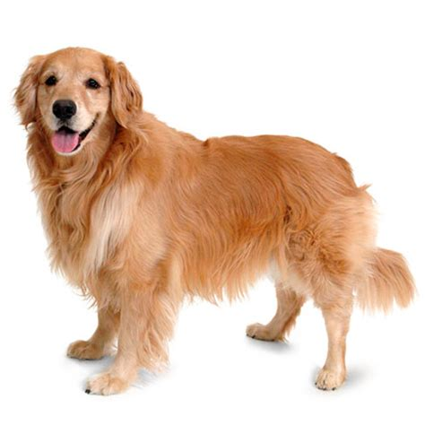 golden retriever health facts golden retriever health facts by petplan petplan