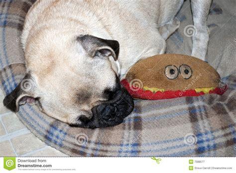 pug l base cucciolo pug di sonno immagine stock immagine di base 7588577