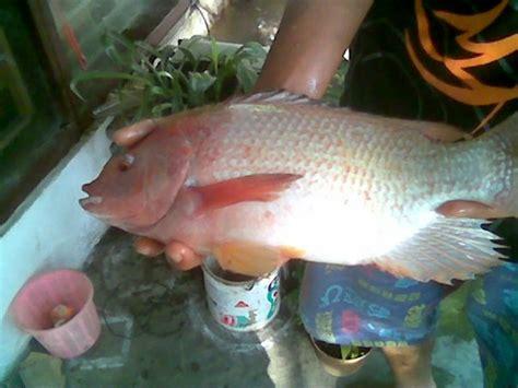 Jual Benih Ikan Nila Gesit cara budidaya ikan nila foto 2017