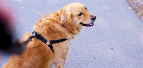 golden retriever leash top 4 best shoos for golden retrievers in 2018