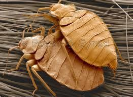 how fast do bed bugs grow how bed bug infestations grow bed bug denver