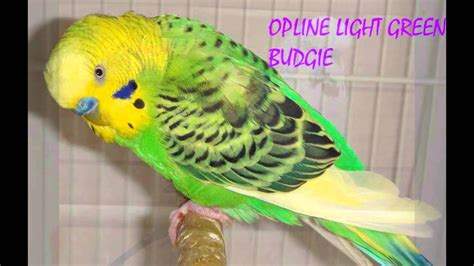 budgie colors budgies veriety colors and their names