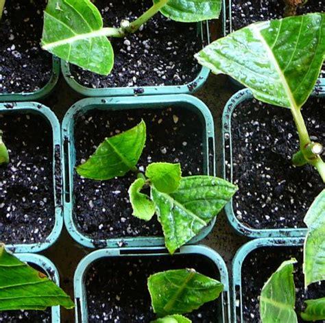Hortensien Stecklinge by Heartsease Garden How Does Your Garden Grow