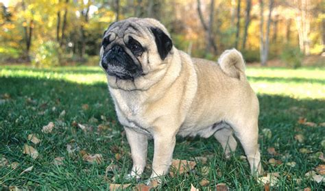 what is a pug bred for pug breed information