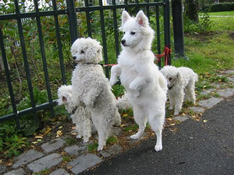 dogs back legs not working file white dogs on hind legs jpg wikimedia commons