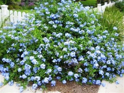 shrub blue flowers plumbago plantinfo everything and anything about