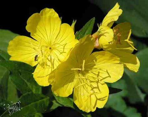evening primrose flower meaning dictionary auntyflo com