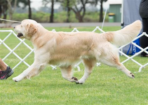 bicklewood golden retrievers australian chion bicklewood goodwill owned by mrs wendy and dr ian johnson
