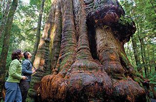 tarkine forest  tasmania