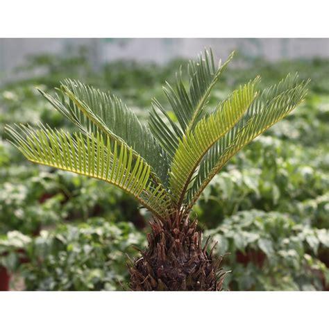 sago palm tree seeds seedarea