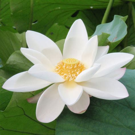 what is white lotus white lotus fragrance craftovator
