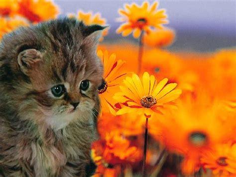 gatti persiani toscana homepage gatti persiani annamaria toscana livorno