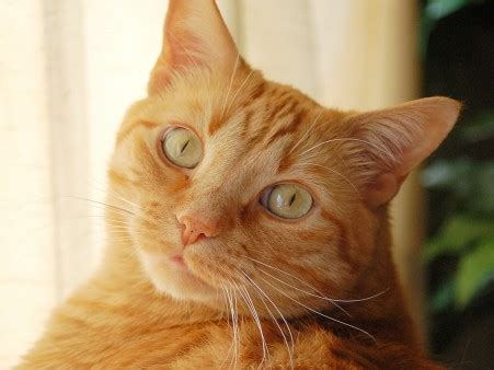 20 Fun Facts about Orange Tabby Cats