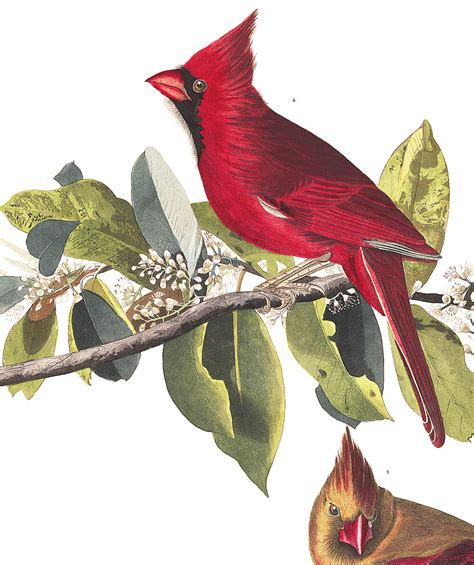 histories of american cardinals grosbeaks buntings towhees finches sparrows and allies order passeriformes family fringillidae literature cited and index classic reprint books cardinal grosbeak audubon s birds of america