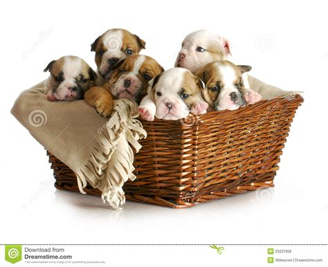 basket of puppies basket of puppies royalty free stock photos image 23237958
