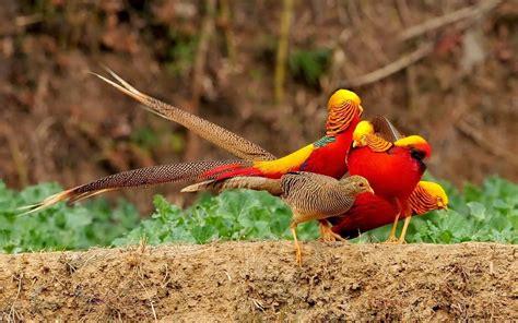 gold wallpaper with birds golden pheasant birds hd wallpapers angelic hugs