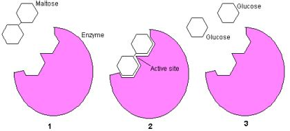 enzyme diagram enzymes how cells work howstuffworks