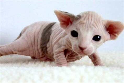 Funny Sphynx Cats Latest 2013 Funny Pictures   Funny And