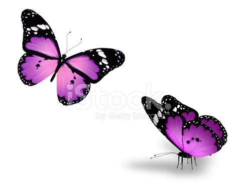 imagenes mariposas violetas dos mariposas violetas sobre fondo blanco fotograf 237 as de