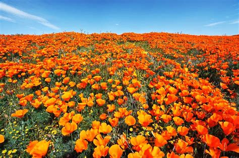 california poppy the california poppy reserve a sea of orange happiness