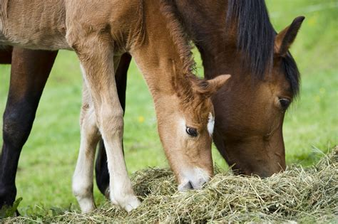 stable diet   horses  eat