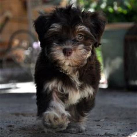 how to raise a havanese puppy wildflower havanese healthy happy dogs for sale near denver co