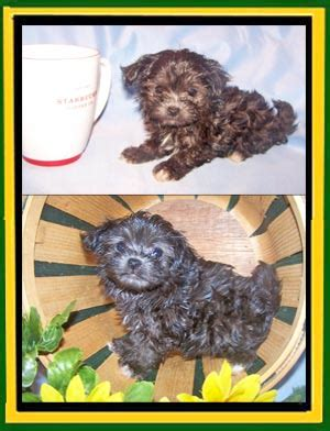 wheat state havanese photos updated 2 22 2015
