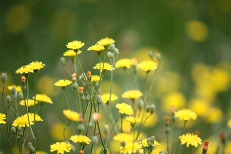 gelbe blumen im rasen zadarmo foto p 250 pavy buriny tr 225 vnik kvety obr 225 zok