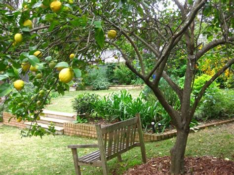 backyard lemon tree igarden oranges and lemons a blog of the compulsive