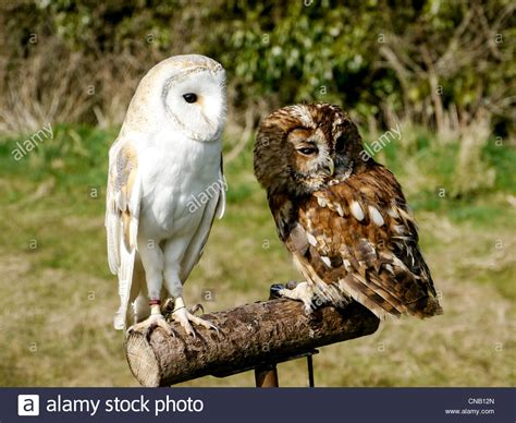 kickers barn owl brown brown barn owl and tawney owl on perch at chenies house