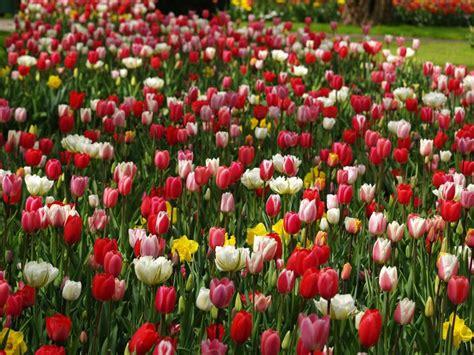 wallpaper bunga tulip di belanda gambar taman bunga tulip terbesar di dunia di keukenhof