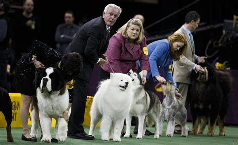 westminster kennel club show 140th westminster kennel club show