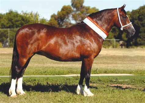welsh section d characteristics welsh cob horse breed information history videos
