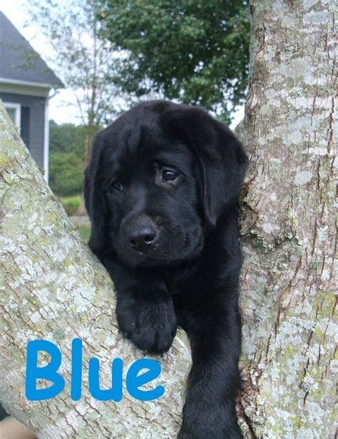 puppies mobile al dogs and puppies for sale or adoption in mobile alabama breeds picture