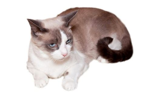 Snowshoe Personality, History, and Pictures   PawCulture