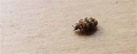 carpet beetles town  country pest solutions