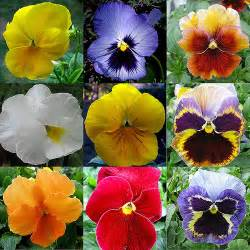 best 25 pansy flower ideas on pinterest pansies
