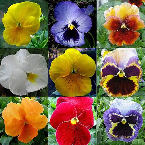 pansy colors best 25 pansy flower ideas on pansies